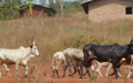 Afrique centrale : pour un appui à l'organisation de la conférence régionale sur le pastoralisme